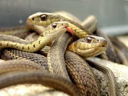 الثعابين